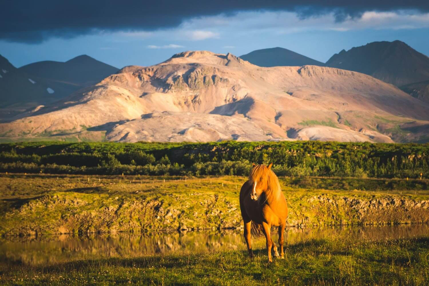 Cheval d'Islande / Iceland